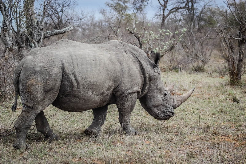 Le rhinocéros africain (Photo du domaine publique de Pixabay.com)