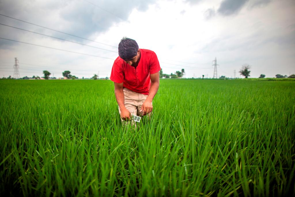 Kuldeep Kharanghar, de Gauranda à Karnal, Haryana utilise un tableau de couleurs des feuilles pour appliquer des engrais à sa culture de riz. (crédits: Climate Change, Agriculture and Food Security (CCAF) / Prashanth Vishwanathan / Flickr Creative Commons Attribution-NonCommercial-ShareAlike 2.0 Generic (CC BY-NC-SA 2.0))
