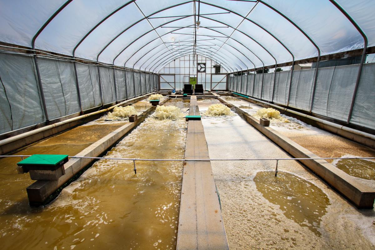 Projet de Dave Brune sur les crevettes et le tilapia au Centre de recherche Bradford à Columbia, MO. Le professeur du Collège d'agriculture, d'alimentation et de ressources naturelles de la MU travaille sur un système de production respectueux de l'environnement pour l'élevage de crevettes et de tilapia. Son système utilise des crevettes à base de saumure pour nettoyer les eaux usées, puis les nourrir comme nourriture. (crédits: Kyle Spradley | © MU College of Agriculture, Food & Natural Resources / Flickr Creative Commons Attribution-NonCommercial 2.0 Generic (CC BY-NC 2.0))