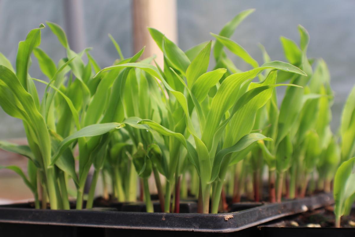 Corn seedlings (Image by bobitexshop from Pixabay)