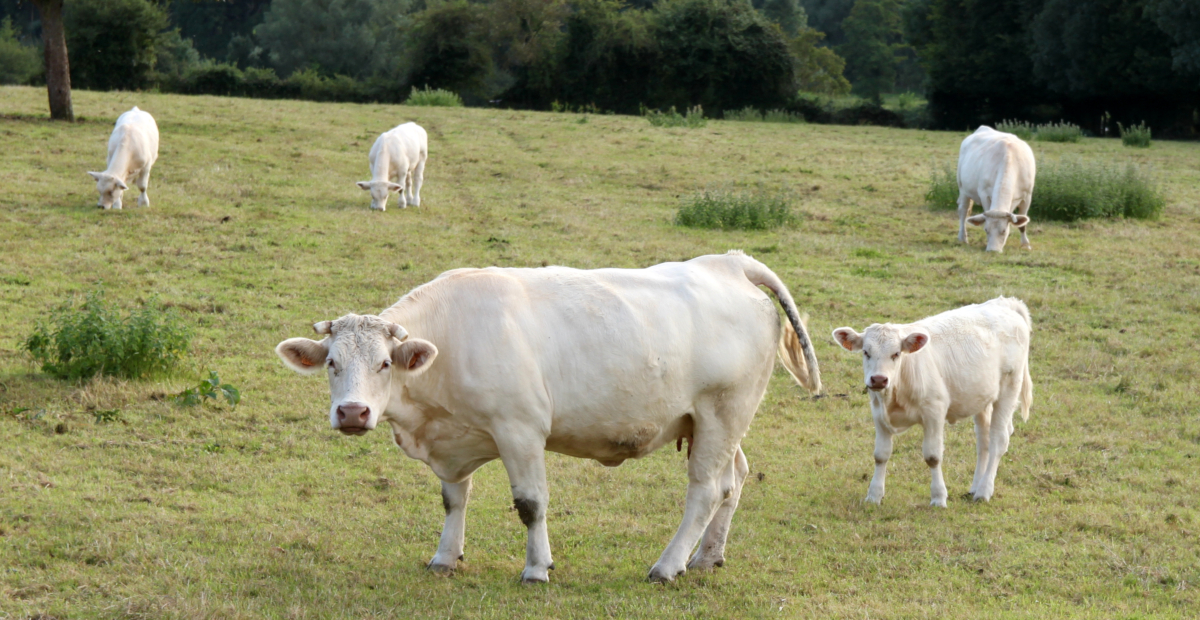 Charolais cattle in France (credits: muffinn / Flickr Creative Commons Attribution 2.0 Generic (CC BY 2.0))
