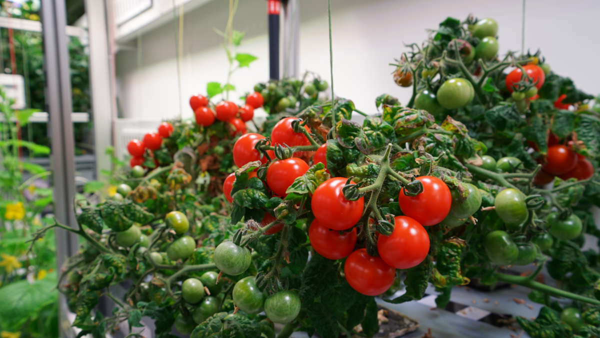 Tomatoes cultivated in the Antarctic greenhouse EDEN-ISS (credits: DLR German Aerospace Center / Flickr Creative Commons Attribution 3.0 Generic (CC BY 3.0))