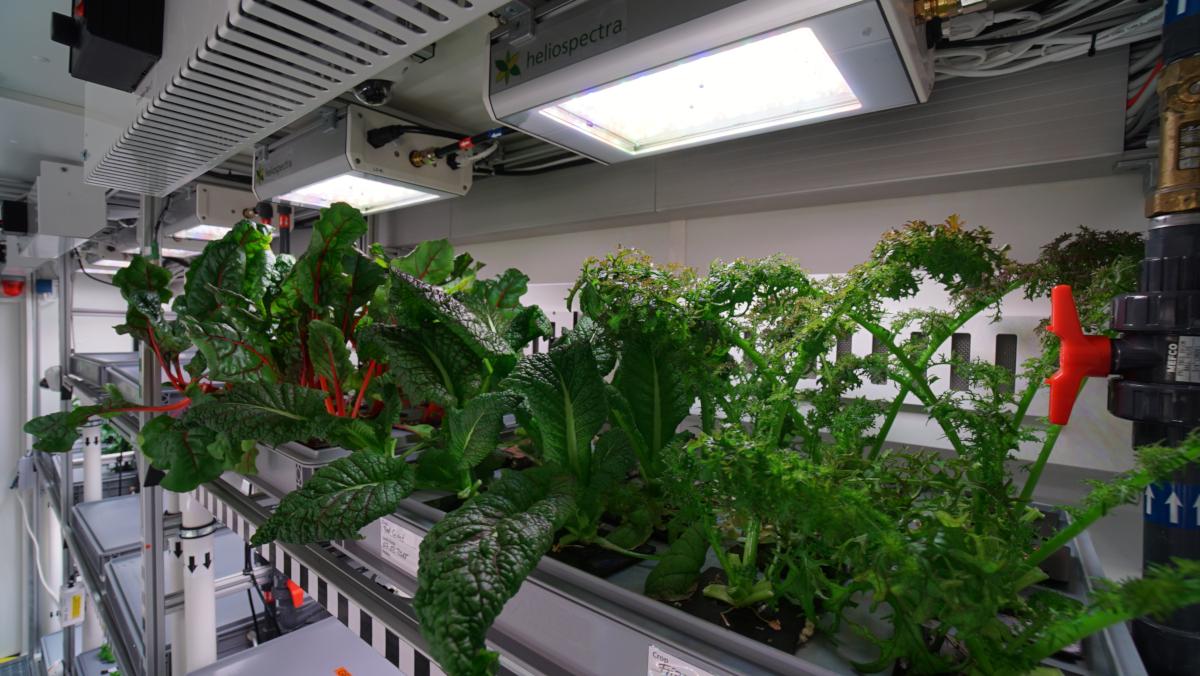 La culture des Bette à carde et moutarde rouge à l'intérieur du serre Antarctic greenhouse EDEN-ISS (crédits: DLR German Aerospace Center / Flickr Creative Commons Attribution 3.0 Generic (CC-BY 3.0))