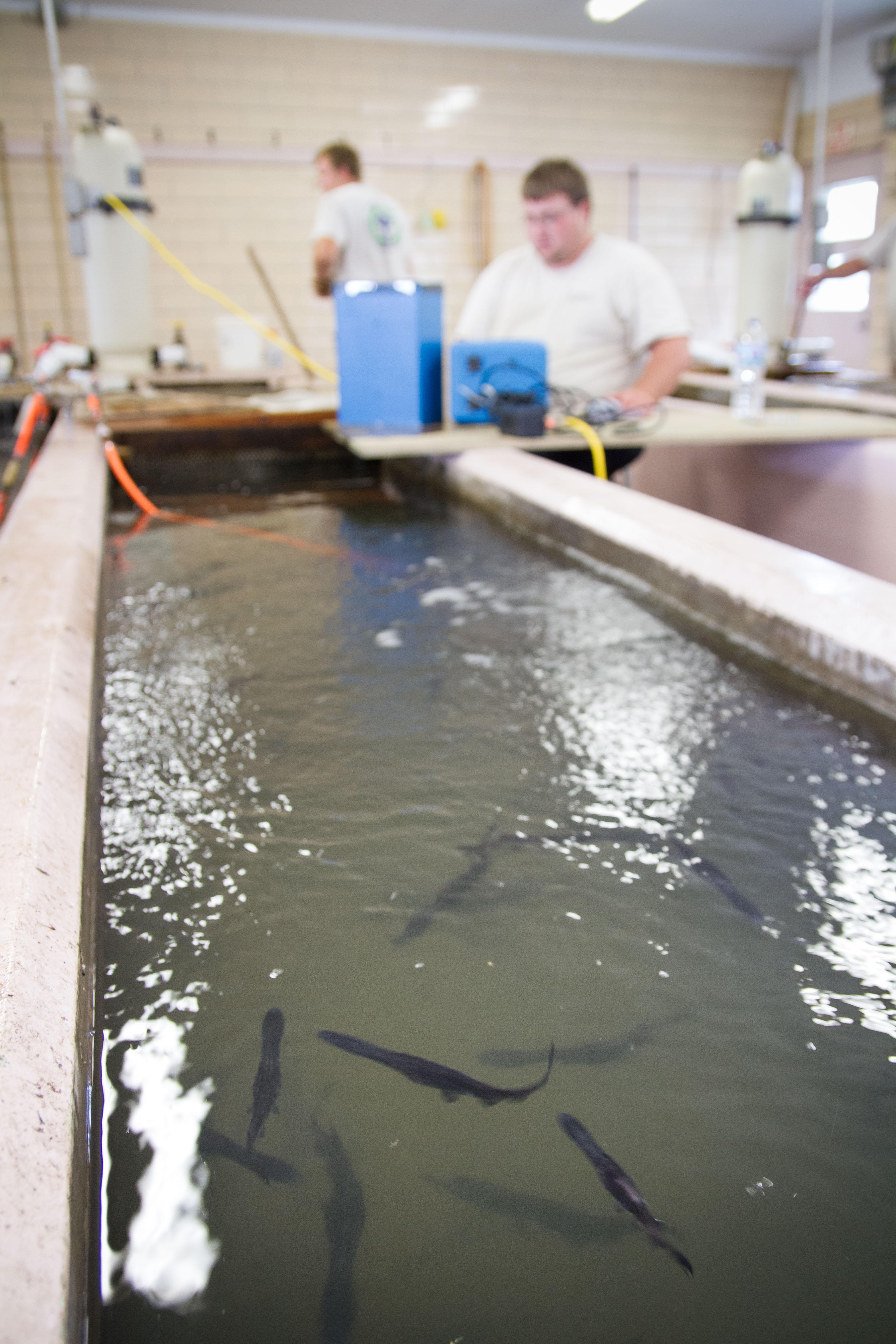 A biologist tagging Paddlefish at Gavins Point National Fish Hatchery (credits: Sam Stukel / USFWS / Flickr Creative Commons Attribution 2.0 Generic (CC BY 2.0))