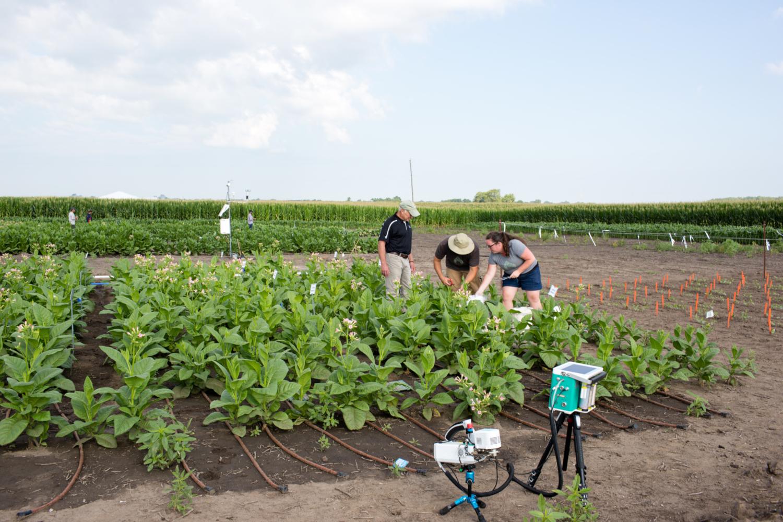 L'essai au champ du projet RIPE. Réaliser une efficacité photosynthétique accrue (RIPE) consiste à concevoir des plantes génétiquement modifiées pour transformer plus efficacement l'énergie solaire en nourriture pour augmenter durablement la productivité alimentaire mondiale. Le projet de recherche international est financé par une subvention de 25 millions de dollars de la Fondation Bill & Melinda Gates.  (crédits: Steve Long / Flickr Creative Attribution 2.0 Générique (CC BY 2.0))